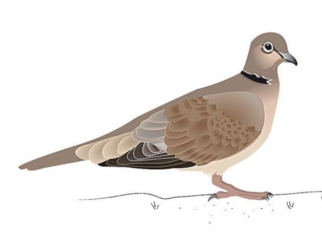 Coloriage Le Chien Et Le Pigeon.Tourterelles Sauvages Animaux Pigeon Animals Et Birds