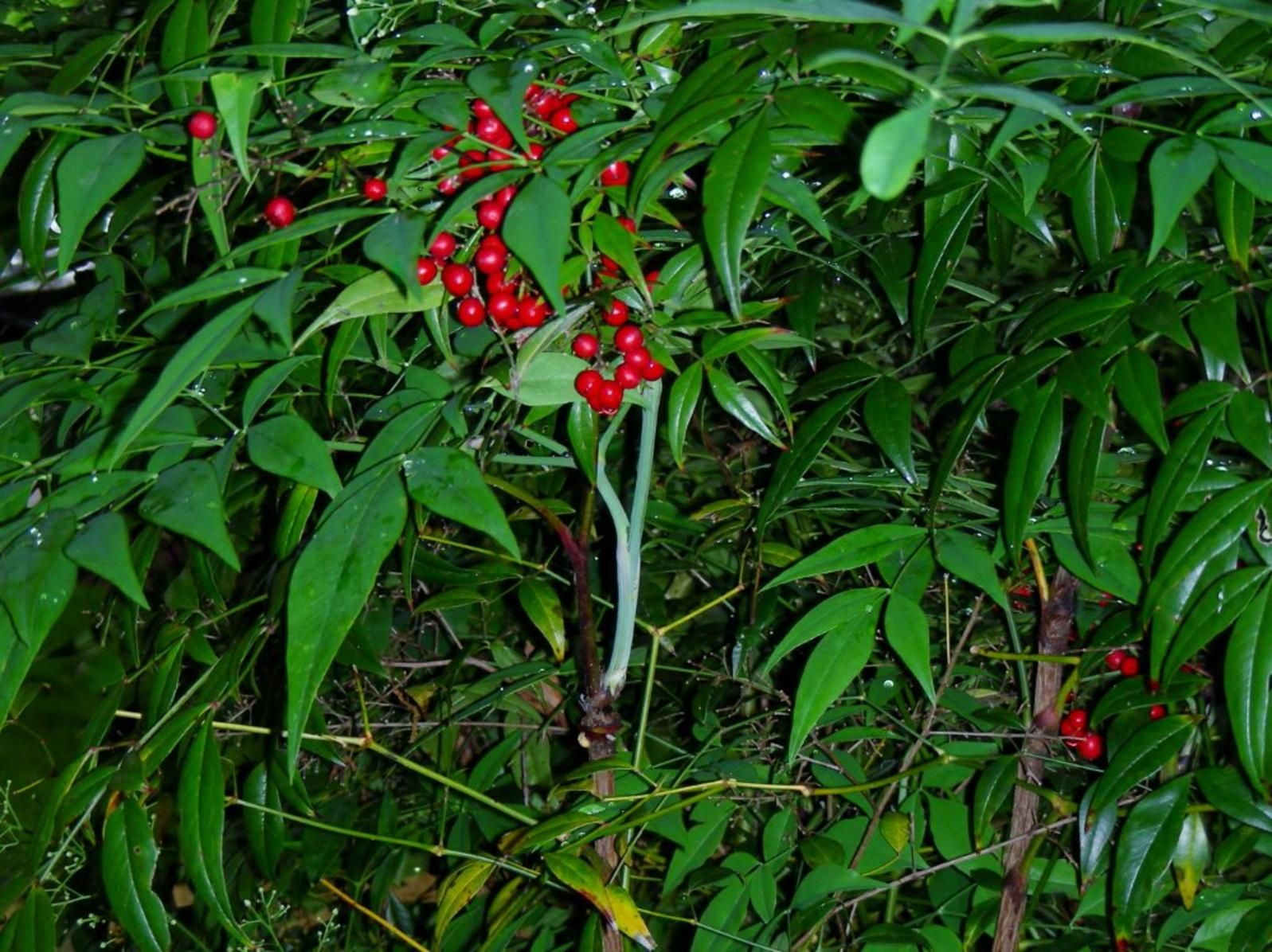 Nandina Berries Kill Birds Soil and water conservation