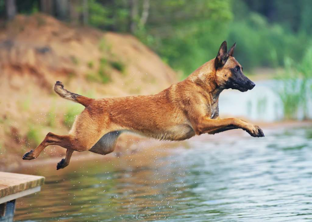 Belgian Malinois Understands New Commands After 5 15 Repetitions And Obeys First Command 85 Of The Time Or Better Big Dog Breeds Smartest Dogs Malinois Dog