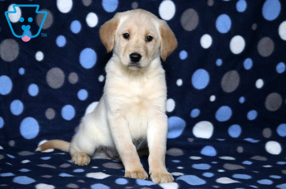 Lefty In 2020 Golden Labrador Puppies Puppies Puppies For Sale