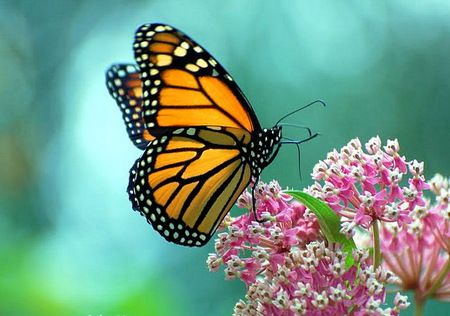 The beautiful Monarch - blue background, orange black and ...