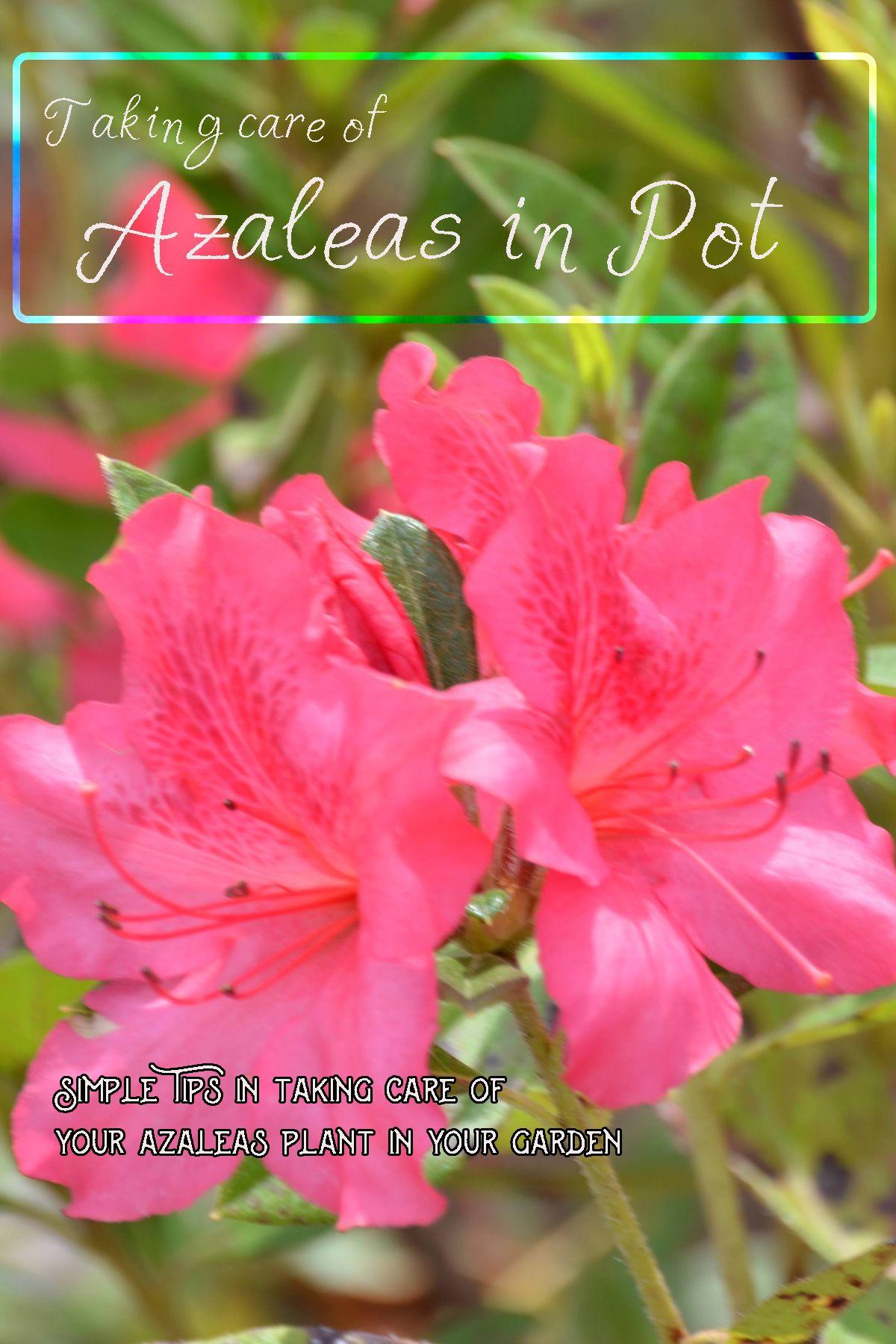 Taking Care Of Azaleas Azaleas Azalea Flower Plants