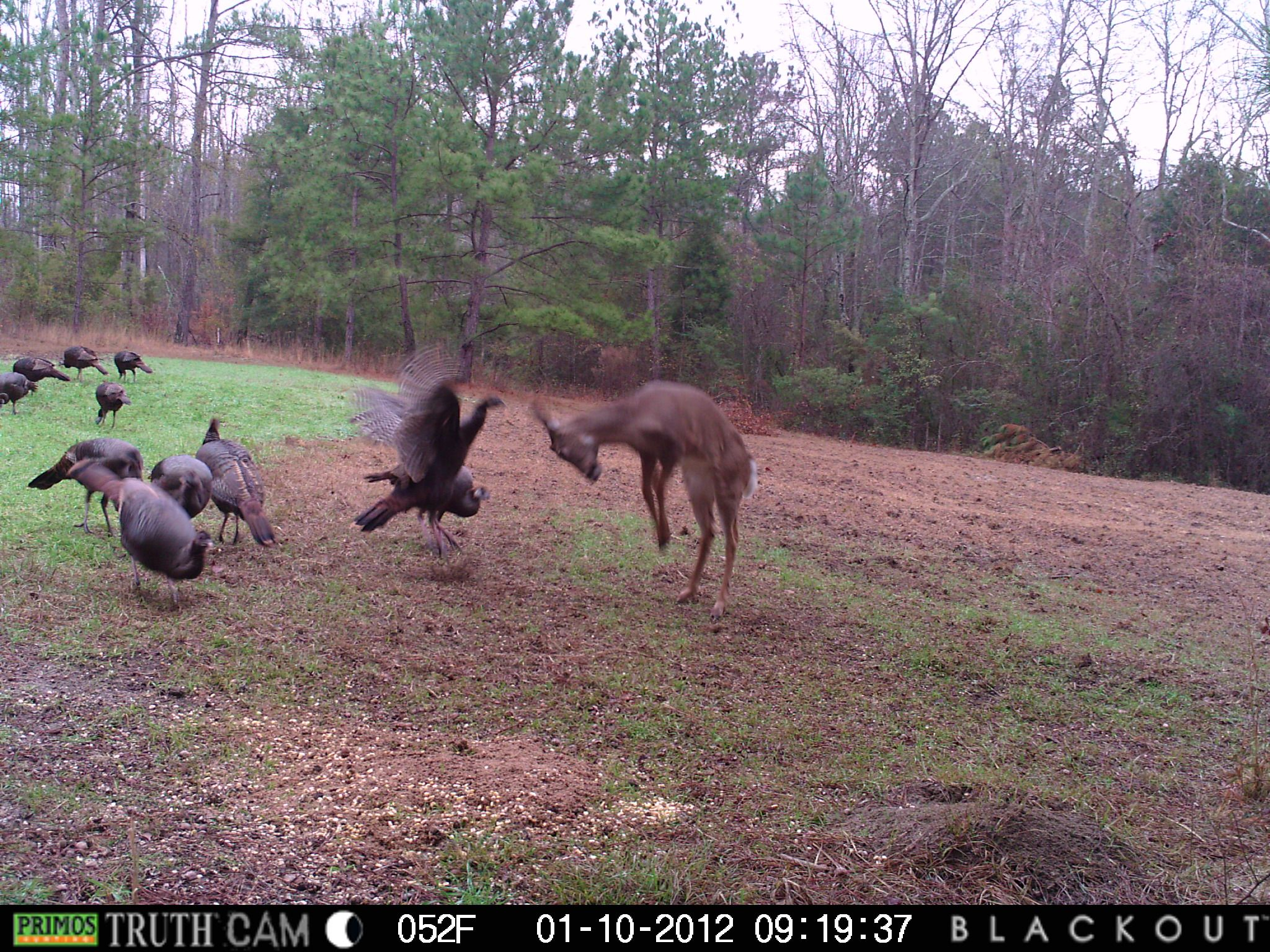 Deer and turkey fighting over corn on my parents land in