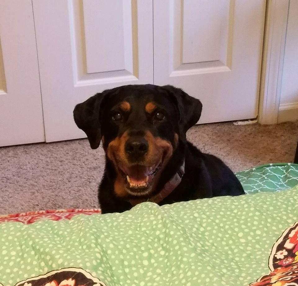 Rottweiler dog for Adoption in Durham, NC. ADN570098 on