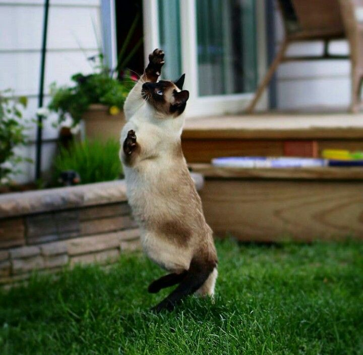 Pin By Andrew Gloe On Animals Startled Cat Siamese Cats Cat Attack