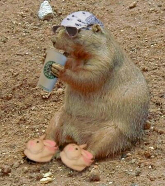 Pin By Painfulpuns On Happy Groundhog Day Groundhog Pictures Happy Groundhog Day Groundhog
