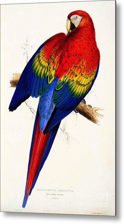 Ara Macao Red And Yellow Macaw Circa 1830 Metal Print by