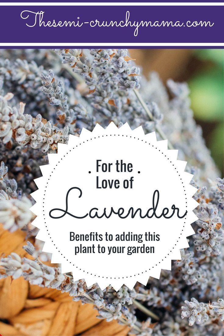 Benefits to planting lavender, Lavender plant, suburban homesteading (scheduled via http://www.tailwindapp.com?utm_source=pinterest&utm_medium=twpin&utm_content=post199752123&utm_campaign=scheduler_attribution)