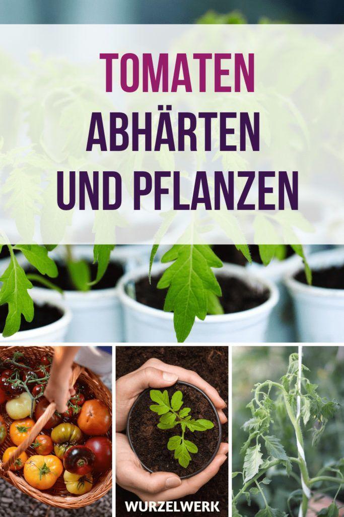 Tomaten richtig pflanzen und abhärten - Wurzelwerk