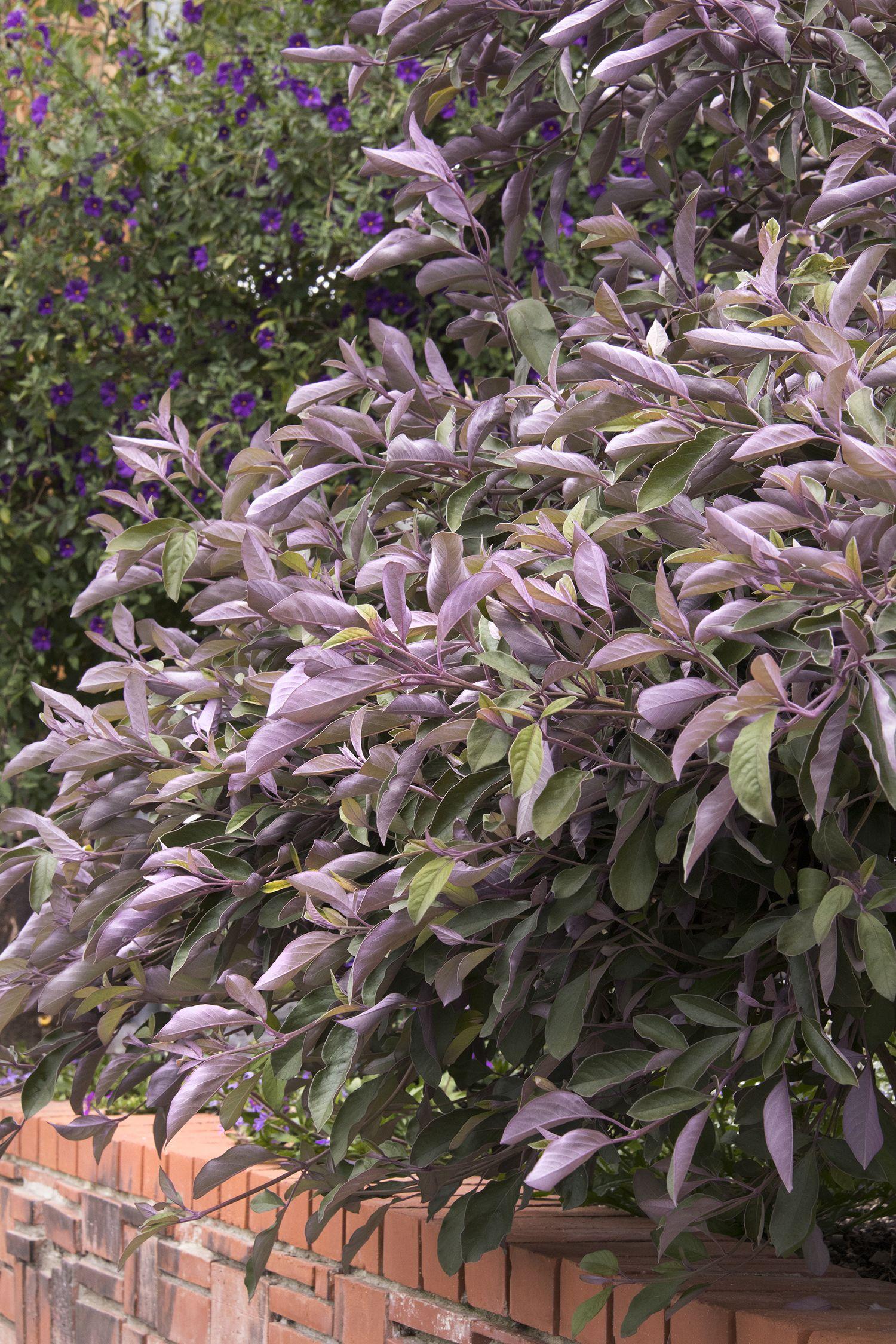 Image result for vitex trifolia purpurea with images