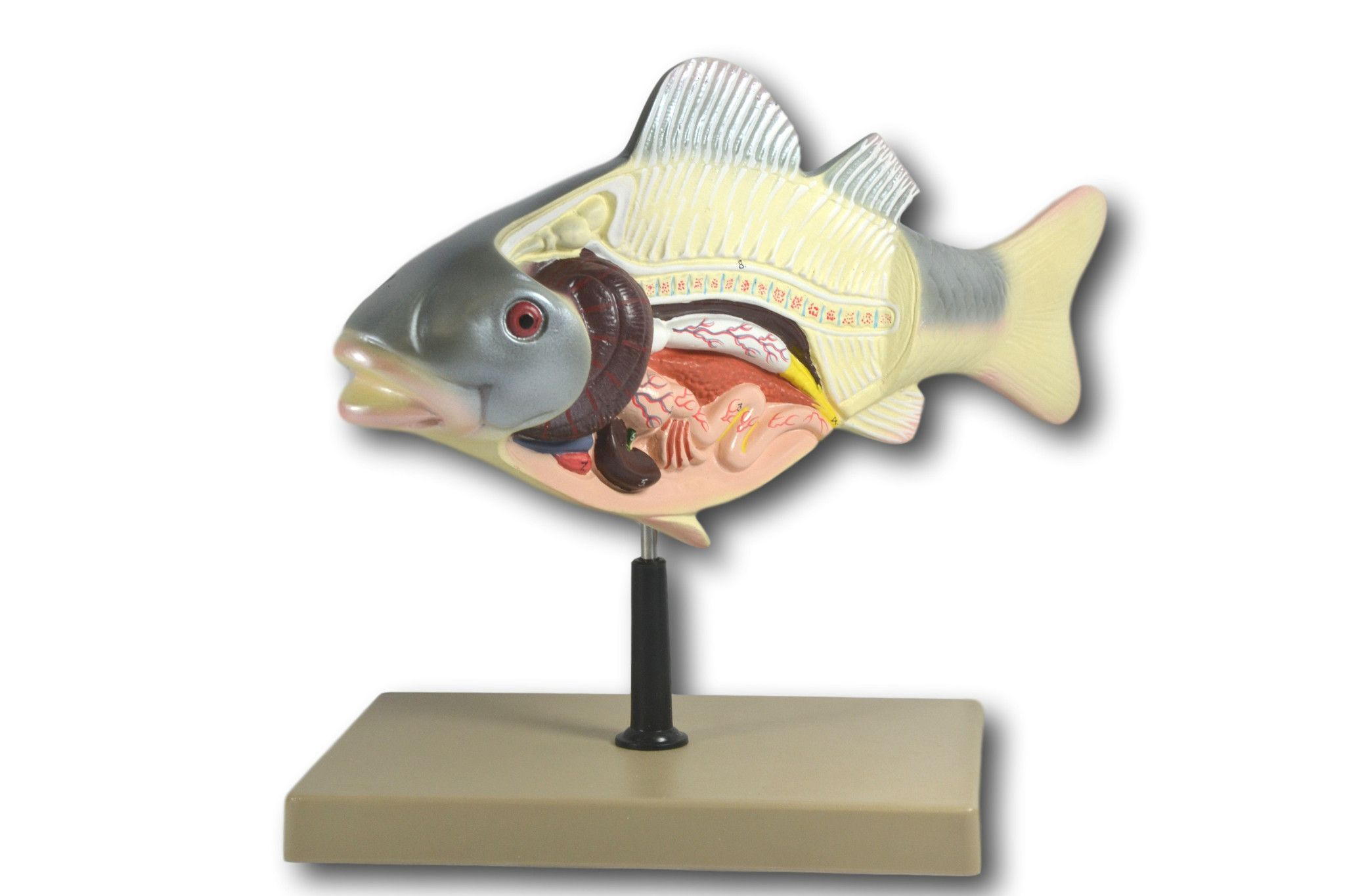 """3D Fish Dissection Model, 14"""" Length"""