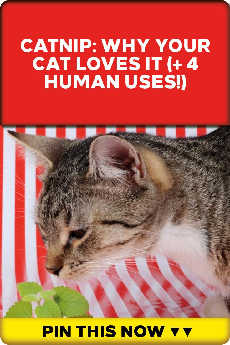 DIY Disinfectant Spray with Tea Tree & Lemongrass Cat