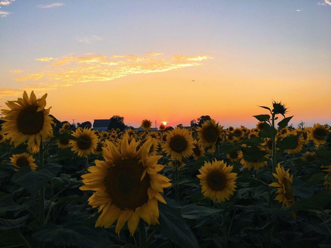 Photography Aesthetic Sunflower Background