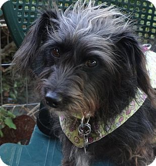 Pictures Of Lulu A Dachshund Scottie Scottish Terrier Mix For