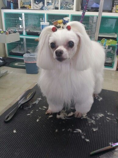 Nikki Maltese In A Modified Poodle Trim Groomed A Cut Above