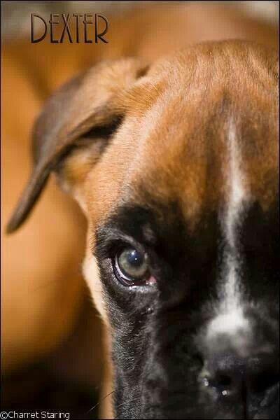 Boxer dog Dexter