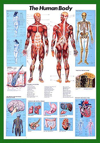 The Human Body Anatomy Wall Chart Poster Nuova Arti Grafiche