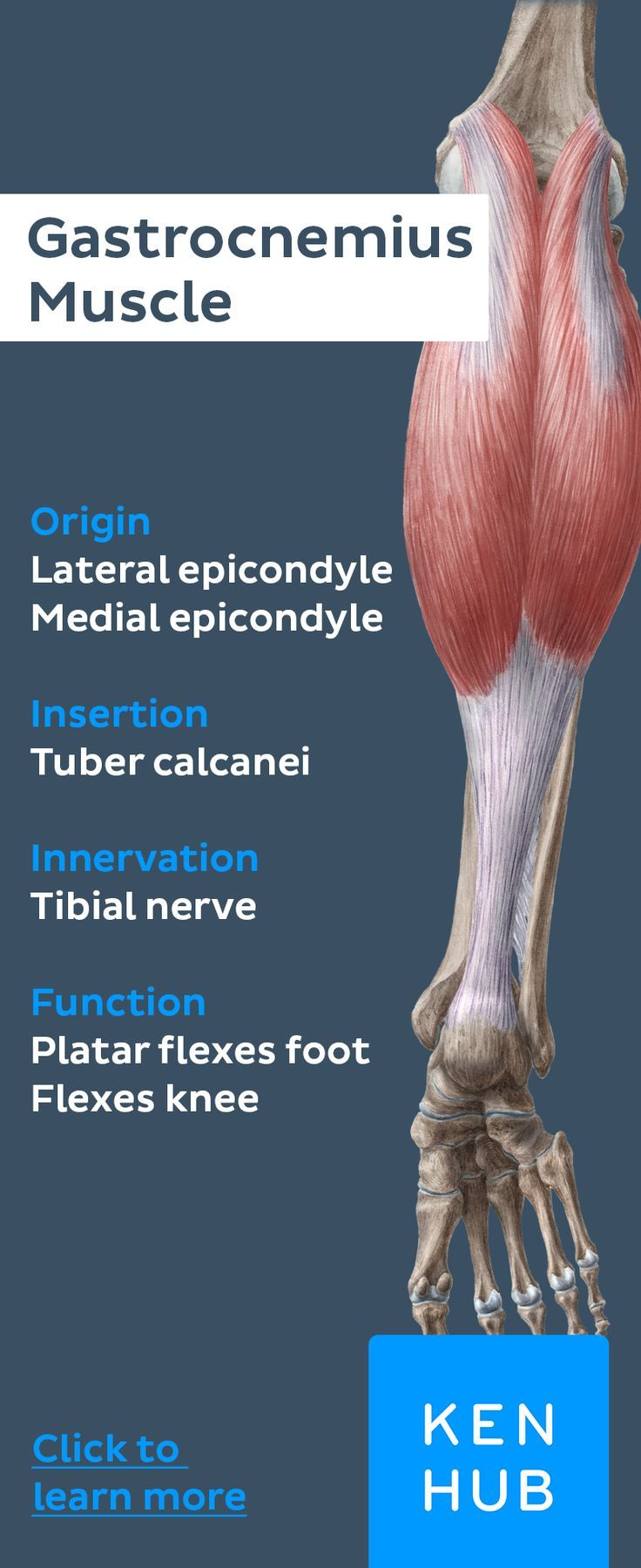 10+ Triceps surae muscle