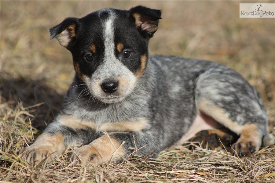 You Ll Love This Male Australian Cattle Dog Blue Heeler Puppy