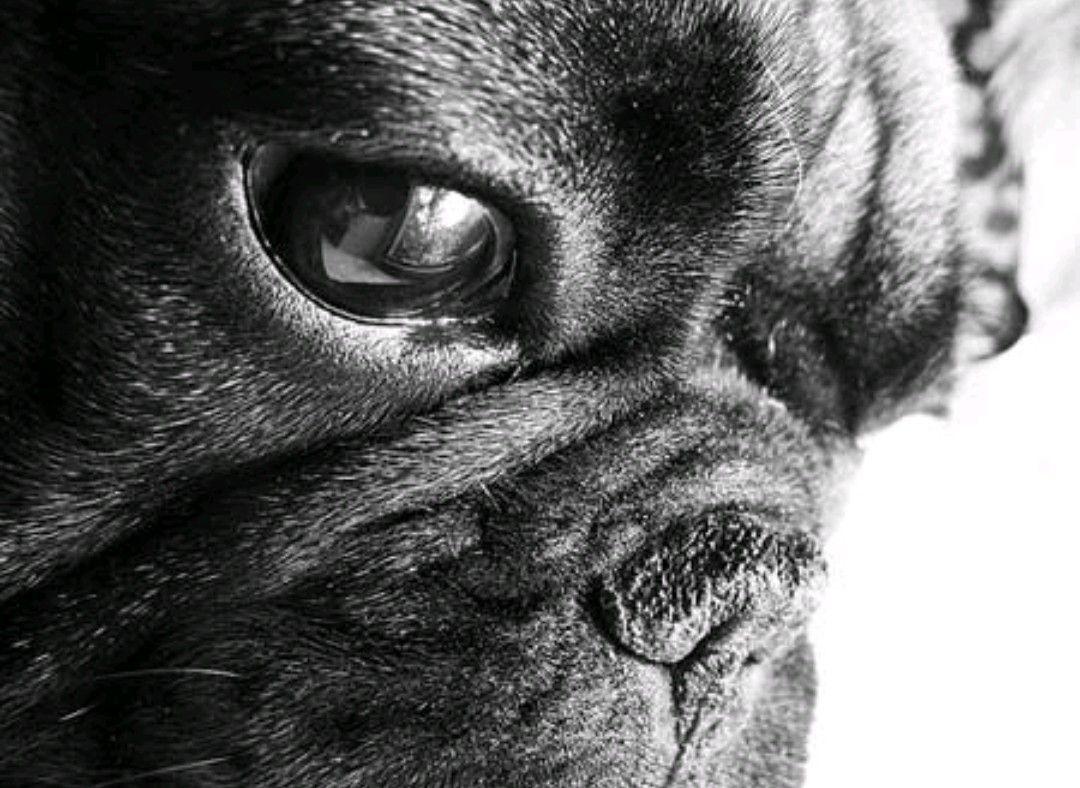 Bulldog francés Perros bulldog frances, Bulldogs