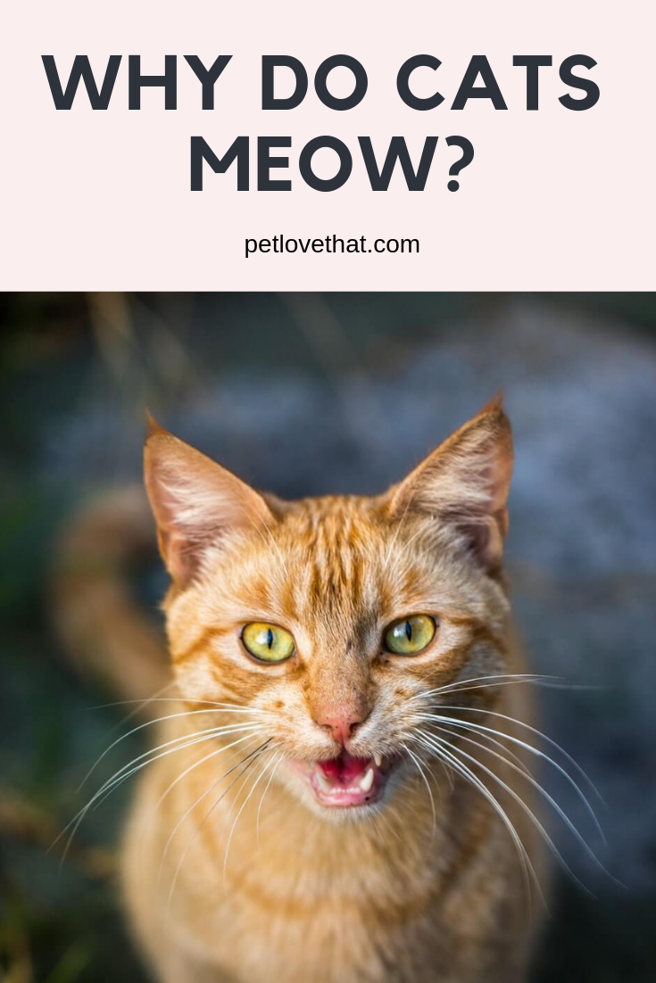 Why Do Cats Meow Why Do Cats Purr Cat Parenting Cat Having Kittens