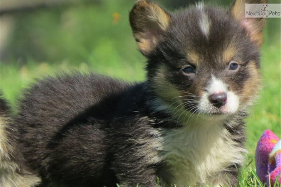 Meet Knight A Cute Welsh Corgi Pembroke Puppy For Sale For 1 000