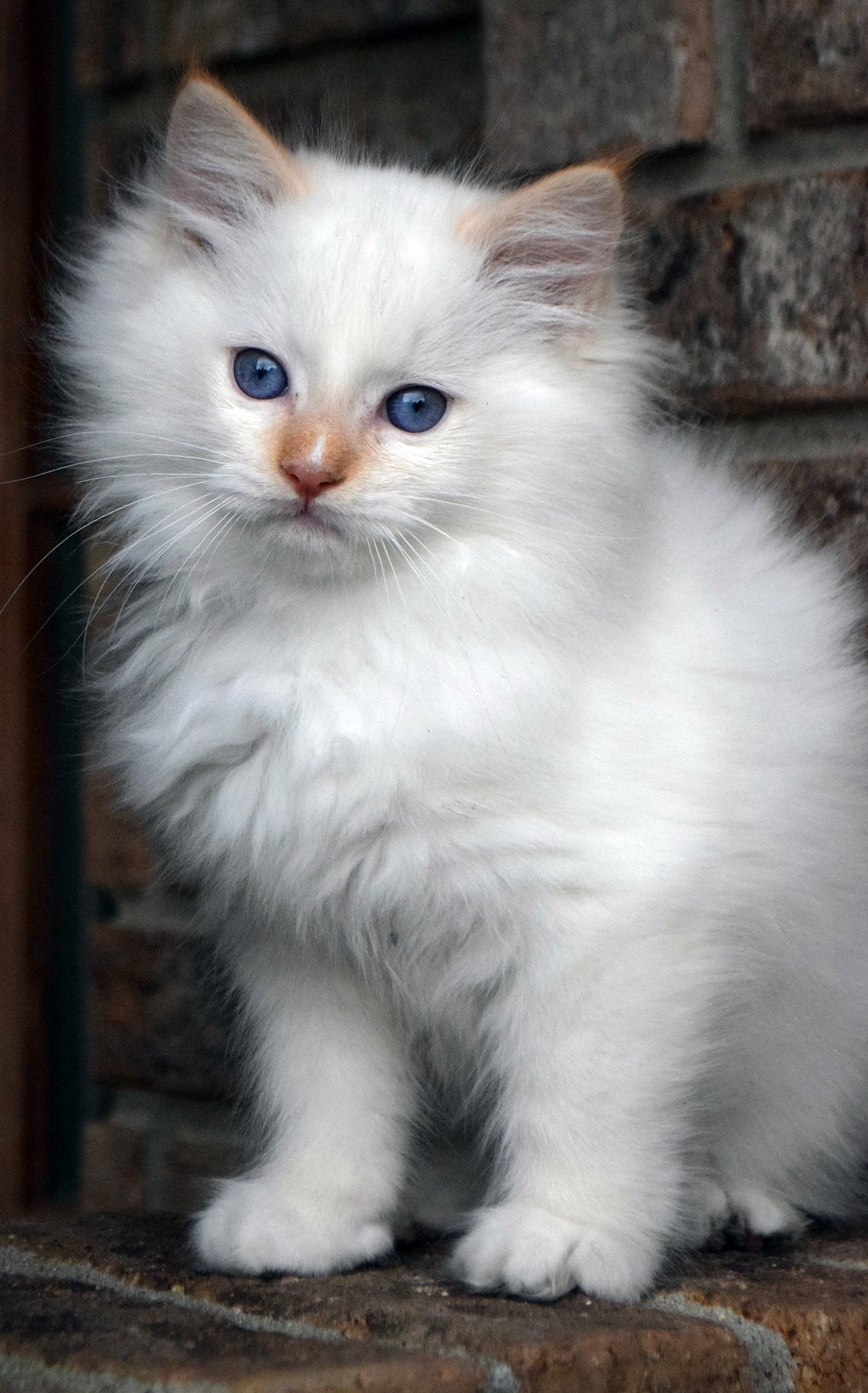 Flame Mitted With Blaze Persiancatorange Cats Kittens Cutest