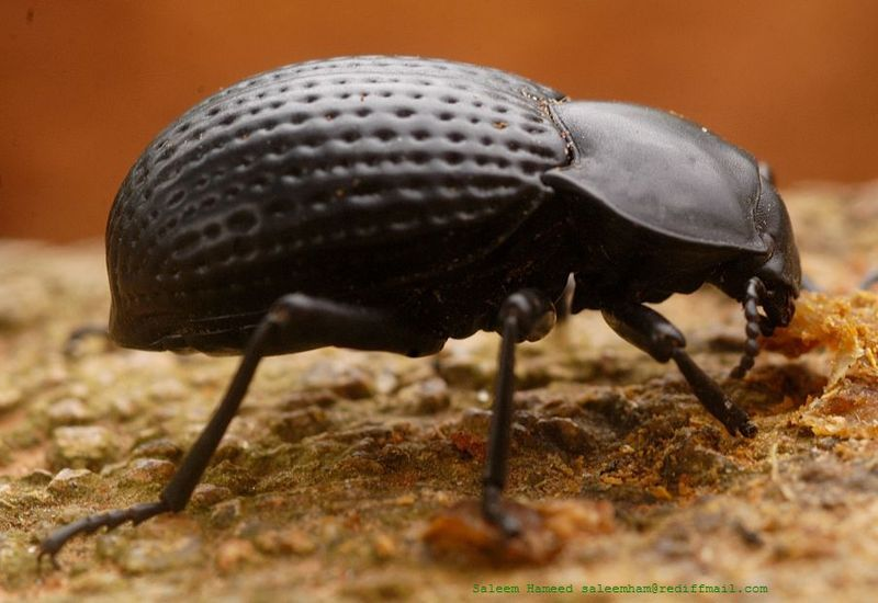 Darkling beetle - Wikipedia