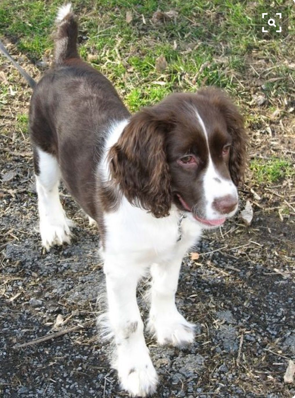 Pin By Jay On Animals But Mostly Puppies English Springer
