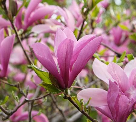 Jane Magnolia On Fast Growing Trees Nursery Jane Magnolia Tree Magnolia Trees For Sale Jane Magnolia