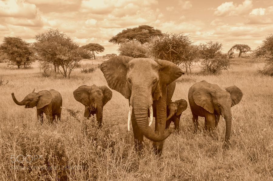 Elephants de patriciafeldhofer