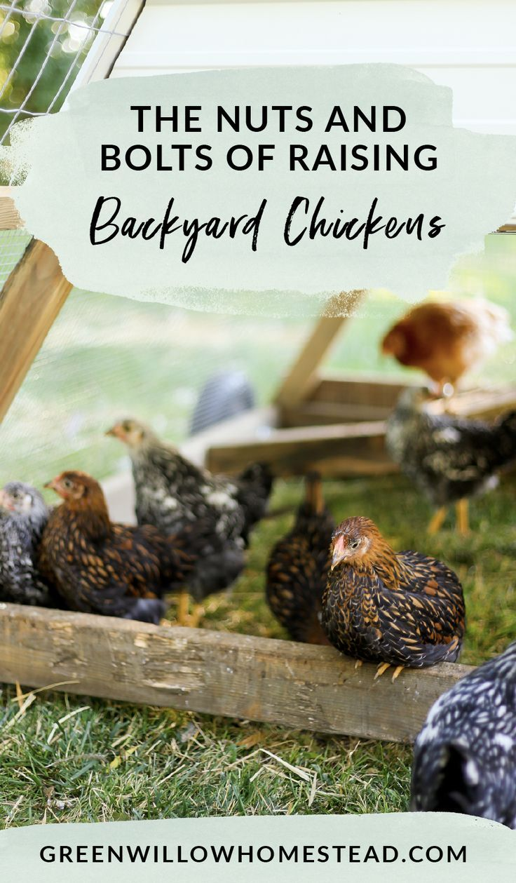 How to get started with backyard chickens, raising ...