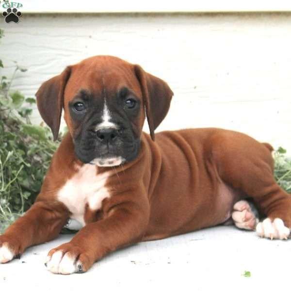 Comet Boxer Puppy For Sale in Pennsylvania Boxer