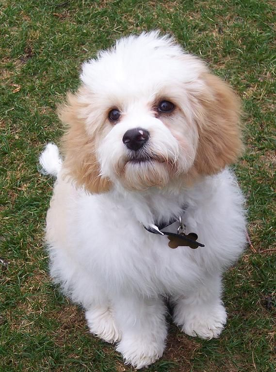 10 Unreal Cavalier King Charles Spaniel Cross Breeds You Have To See To Believe Cavachon Puppies King Charles Cavalier Spaniel Puppy Cavachon