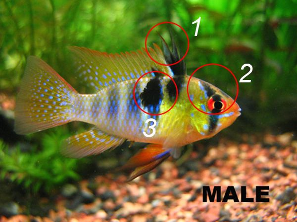 How To Sex German Blue Rams Microgeophagus Ramirezi Aqua