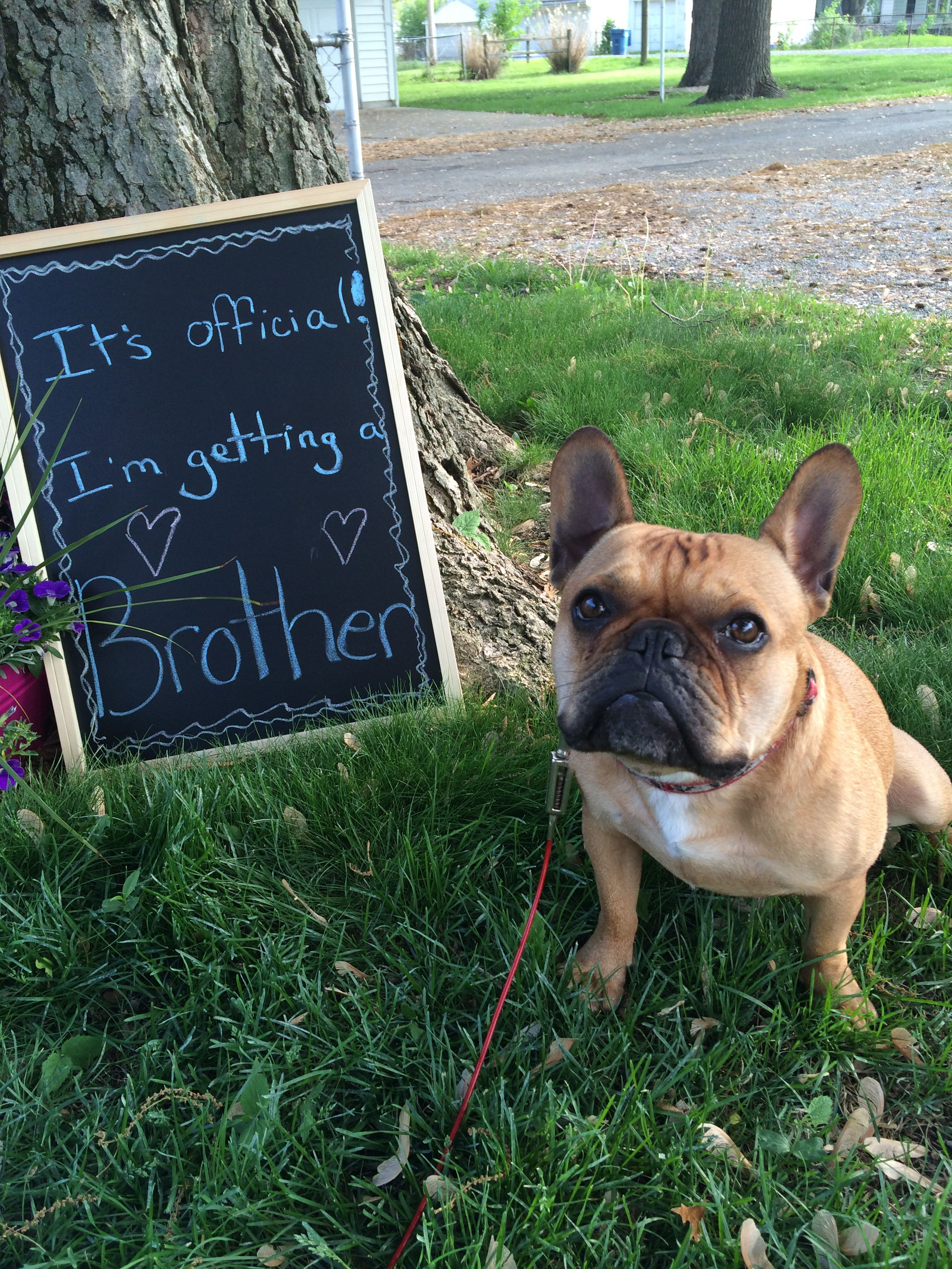 a39312e46 Gender reveal. Baby. Pregnancy. French bulldog. Dog. | Frenchies ...