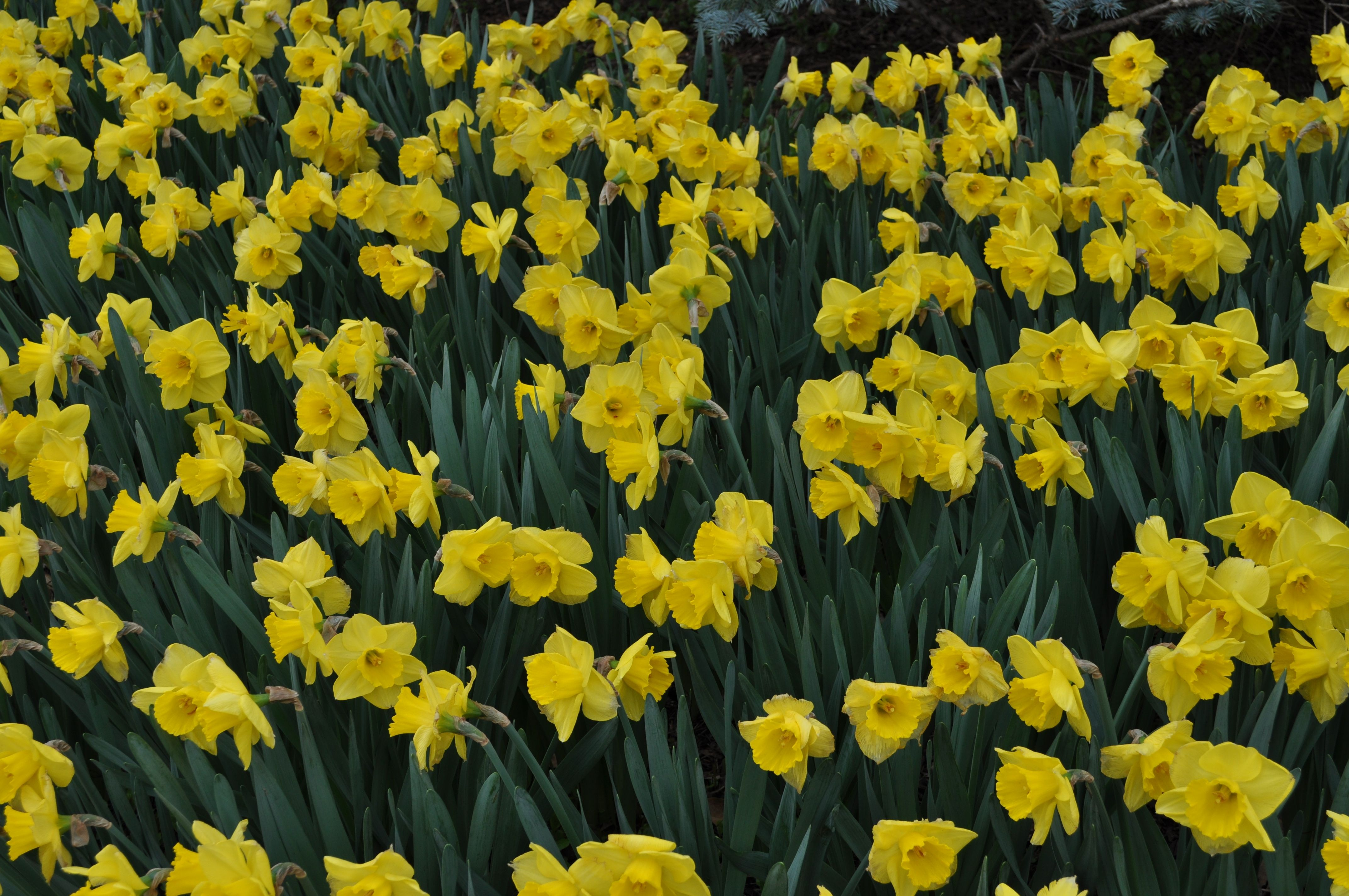Daffodils The Most Dependable Spring Flowering Bulb Is The Daffodil Especially If You Enjoy Yellow Th Spring Flowering Bulbs Chicken Wire Fence Daffodils