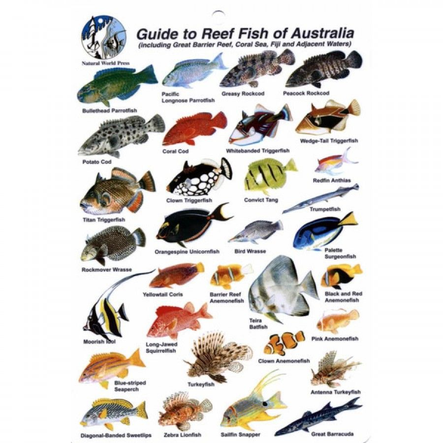 Fish Id Card Australia Coral Sea And Barrier Reef Blue Water Sports Australia Fish Image
