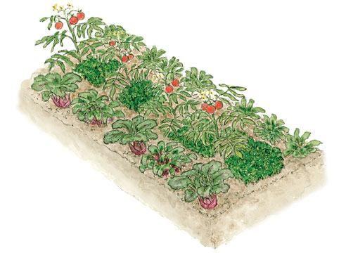 Смешанные грядки: какой овощ с каким дружит
