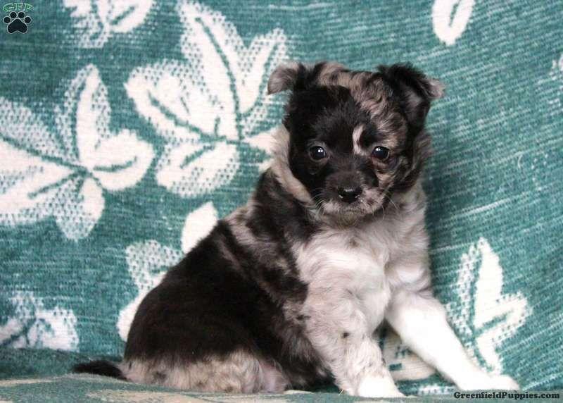 Gloria chihuahua puppy for sale in pennsylvania