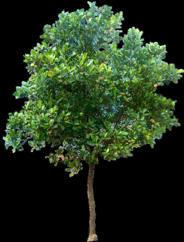 20 im genes de rbol png artocarpus heterophyllus02l for Arboles hoja perenne para jardin