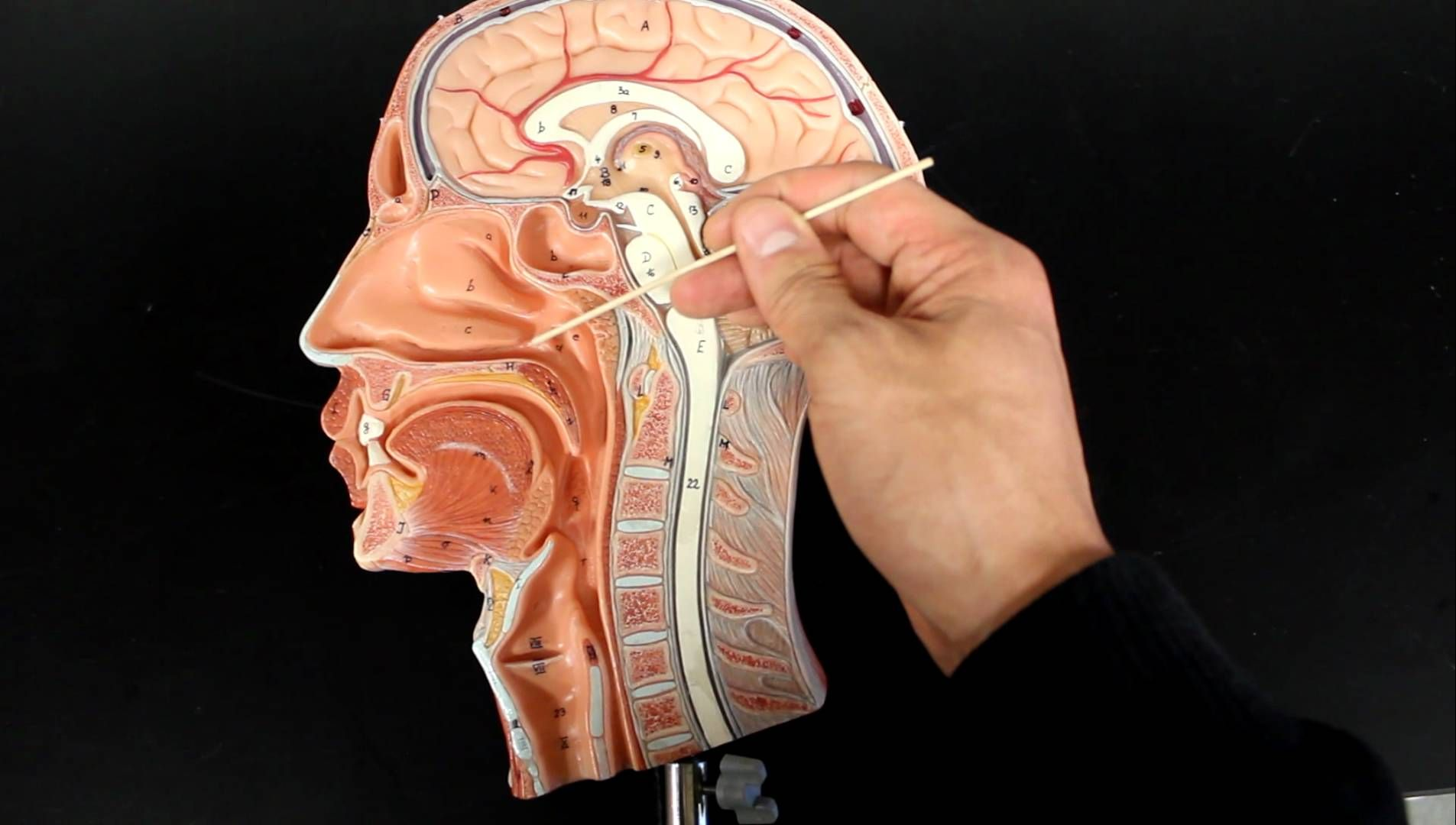 Short video describing the flow of air from the nose to the larynx ...