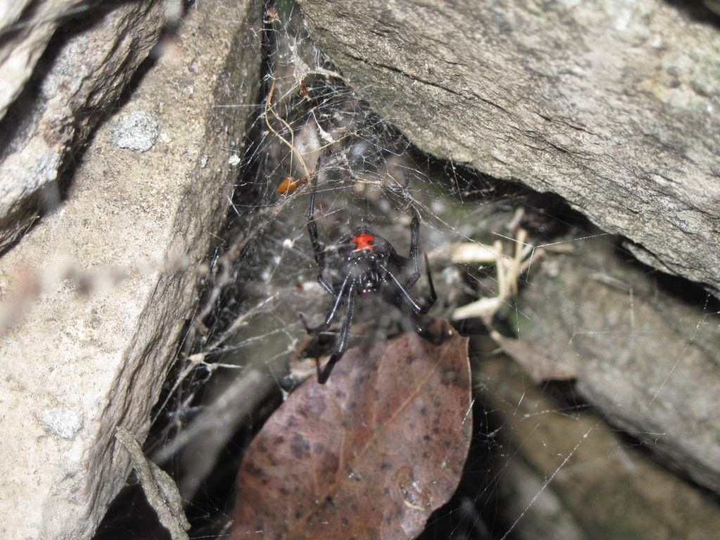 Black Widow Spider Bill Clark Pest Control of Southeast
