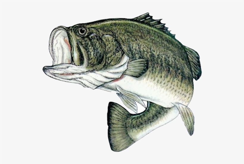 Google Image Result For Https Www Seekpng Com Png Detail 134 1342992 Bass Fishing Png Bass Fish Png Png Fish Drawings Fish Fishing Decals