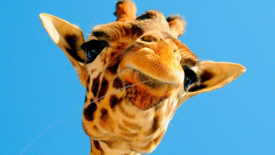 Científicos descubren que las jirafas dicen 'hum'