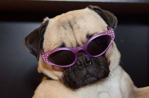 Puh Lease I Look Fabulous In These Sunglasses Pugs Kisses