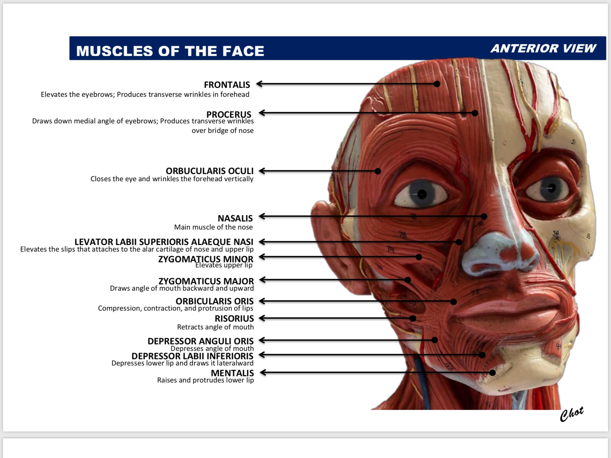 Pin de Ivan Lacayanga en Gross Anatomy | Pinterest