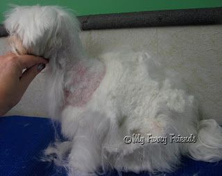 Pet Grooming: The Good, The Bad, & The Furry: Makeover Monday #8...To Save Or Not To Save- or one way to deal with matted dogs and their owners