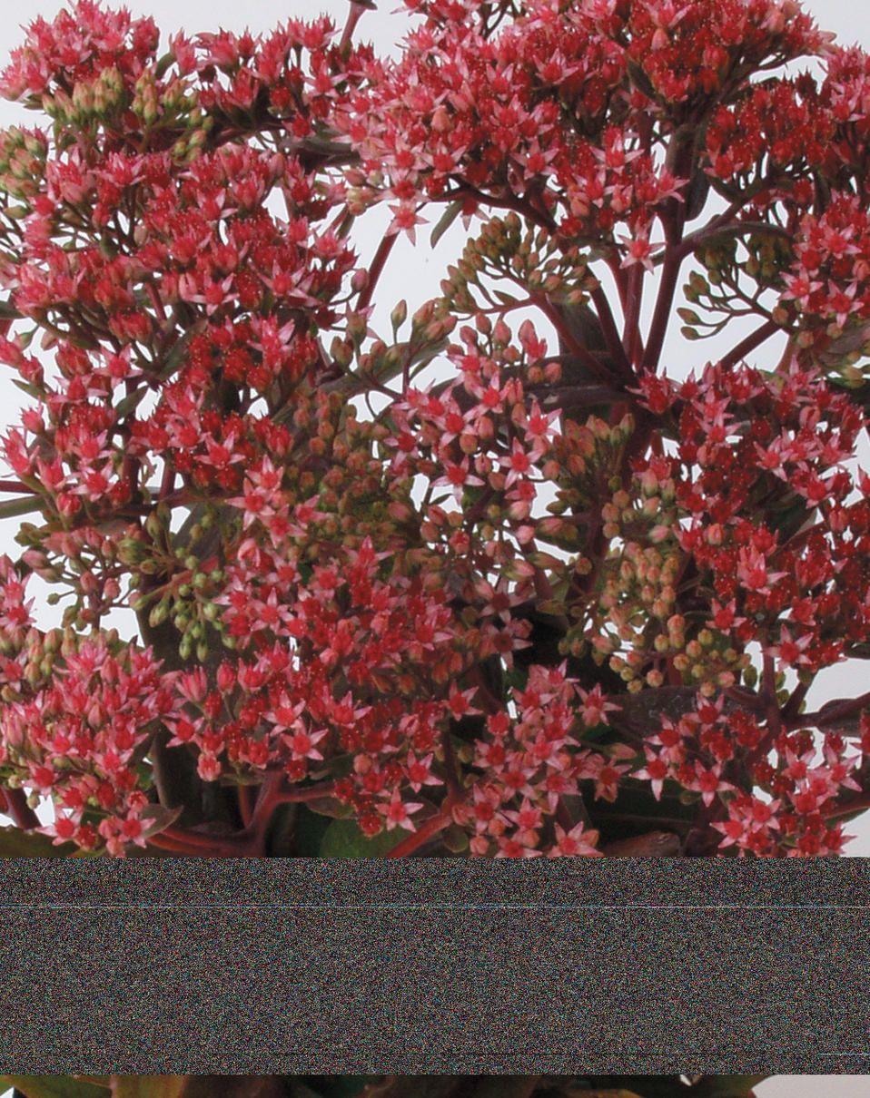 sedum hylotelephium purchased walmart in june and august