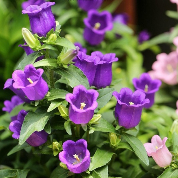 Buy 50pcs Purple Campanula Bellflower Flowers Seeds Bell Flower Garden Outdoor Plant At Wish Shopping Made Fun In 2020 Outdoor Plants Campanula Flowers Flower Garden